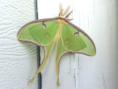 Don't know what kind of moth this is? We didn't either so we looked it up!