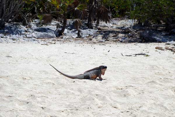 This iguana was standing sentry for the rest.